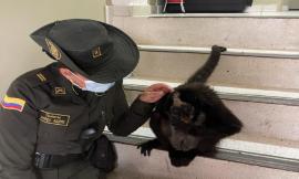 Rescatamos-mono-araña-que-estaba-en-cautiverio